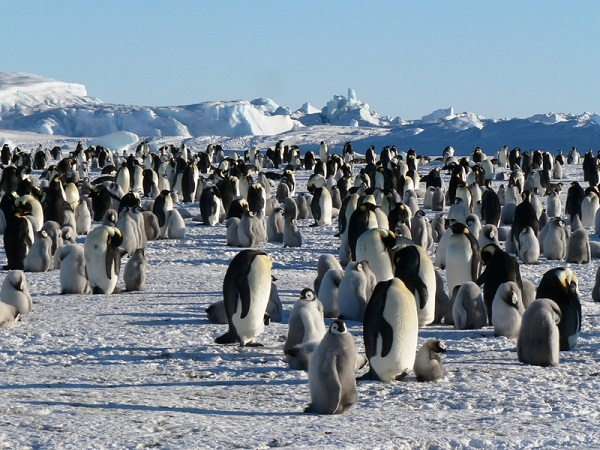 koloni penguin kaisar