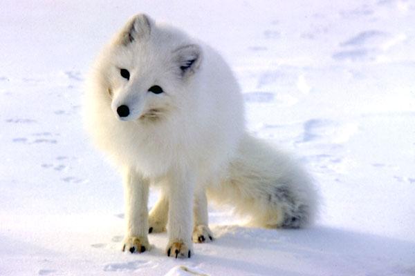 Rubah Arktik