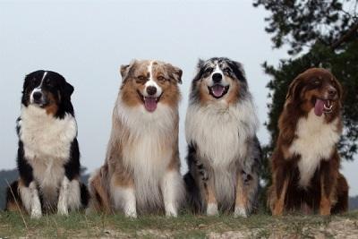 Anjing Australian Shepherd