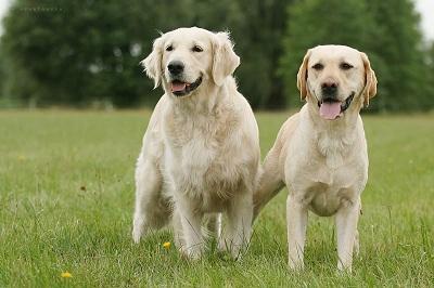 anjing golden dan lab