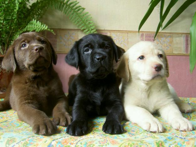 anjing labrador lucu