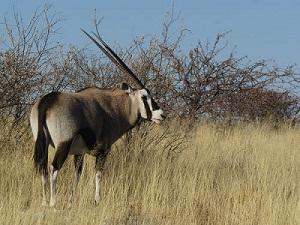 Fakta Antelope