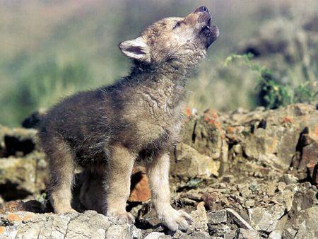 Bayi Serigala