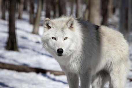 serigala tundra