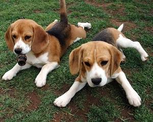 Fakta Dan Informasi Lengkap Tentang Anjing Beagle Kembang Pete