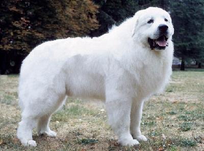 10 Anjing Peliharaan Berwarna Putih Paling Populer Kembang Pete