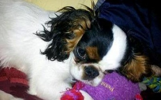 Anjing Malas English Toy Spaniel