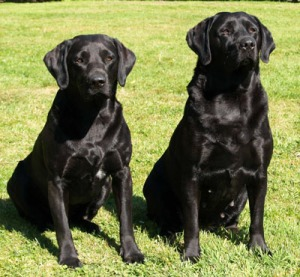 Foto Anjing Labrador Hitam