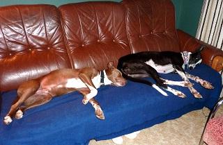 Anjing Malas Greyhound