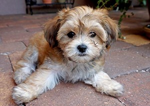 Anjing Malas Havanese