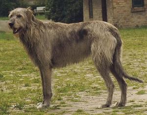 Irish Wolfhound Anjing Besar