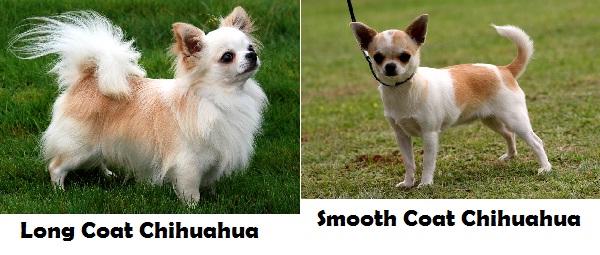 Jenis Chihuahua