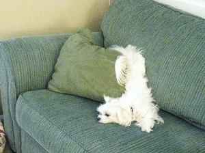 Anjing Malas Maltese