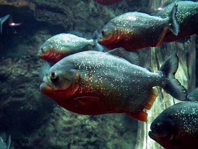 Hasil gambar untuk piranha merah