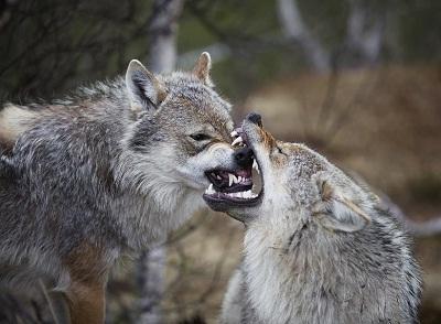 Foto Serigala Kelabu