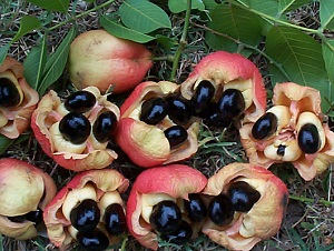 Gambar buah ackee Jamaika