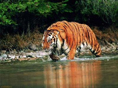 Gambar Harimau Bengal