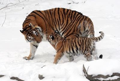 Gambar Harimau Siberia dengan Anaknya