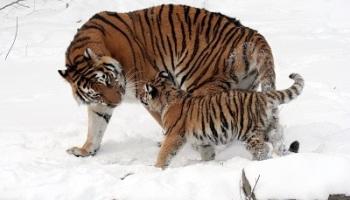 Apa Makanan Harimau Siberia Kembang Pete