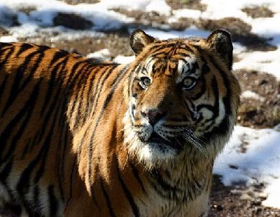 Gambar Harimau Siberia