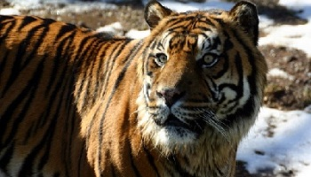Fakta Fakta Tentang Harimau Siberia Kembang Pete