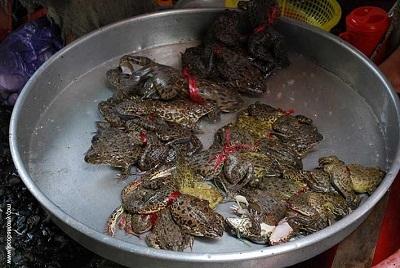Gambar katak goreng Afrika