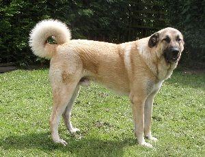 anjing Anatolian Shepherd