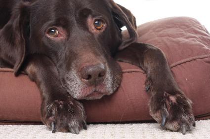 Anjing sakit kekurangan vitamin A