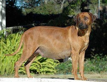 Gambar anjing hamil