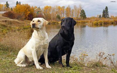 Foto anjing Labrador lucu