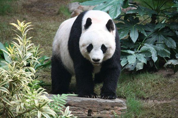 Foto panda raksasa