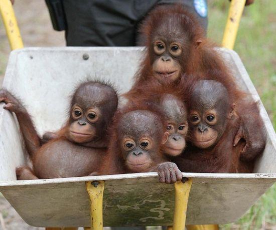 Foto bayi orangutan lucu