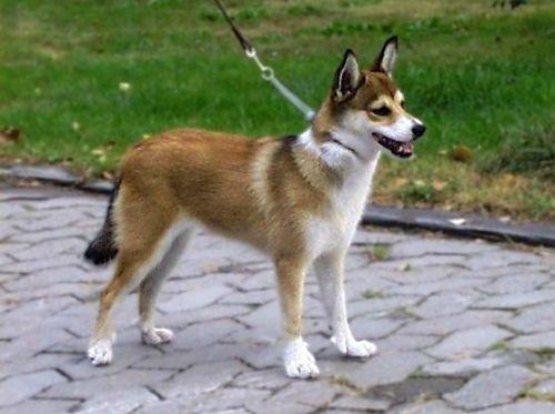 Anjing Norwegian Lundehund