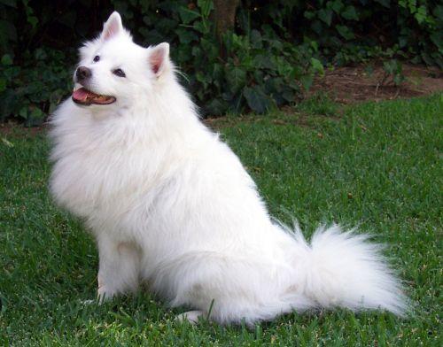 Gambar American Eskimo Dog